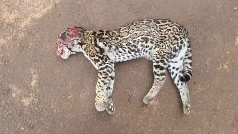 Jaguatirica morta com tiro e pauladas é encontrada na BR-163