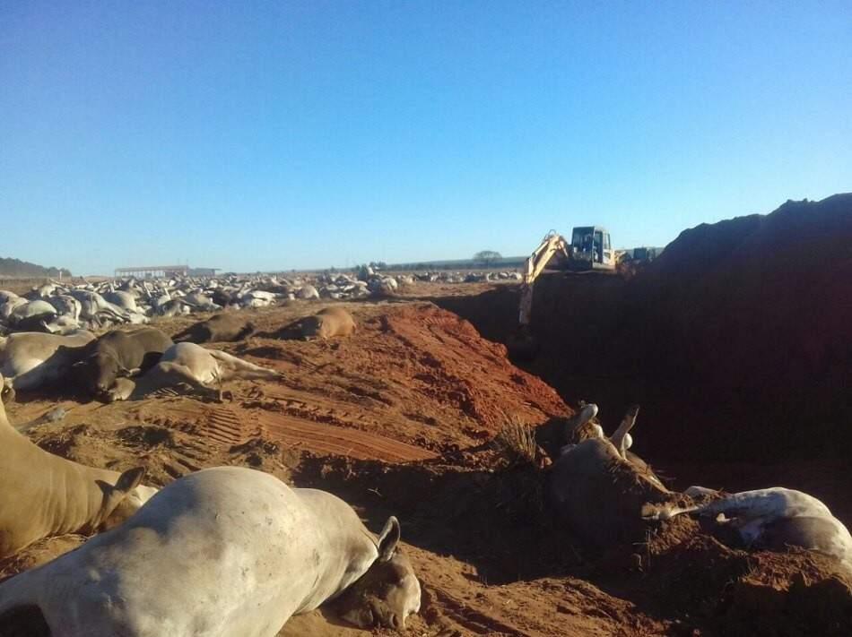 Gado morto supostamente por botulismo será enterrado em fazenda (Foto: Rural News MS)