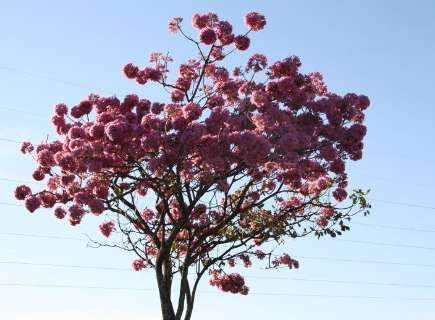 Ipês rosas colorem cidade e se você quer plantar um tem que agir rápido