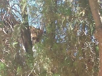 Depois de cinco horas em árvore, jaguatirica é sedada e capturada