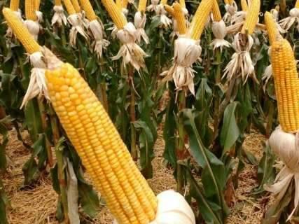 Produção de milho safrinha deve crescer 42% em MS, estima IBGE