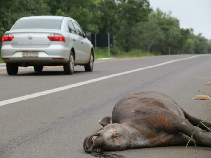 Cinco milhões de animais de grande porte morrem anualmente em rodovias federais; MS tem pontos críticos (Foto: Marcos Ermínio)