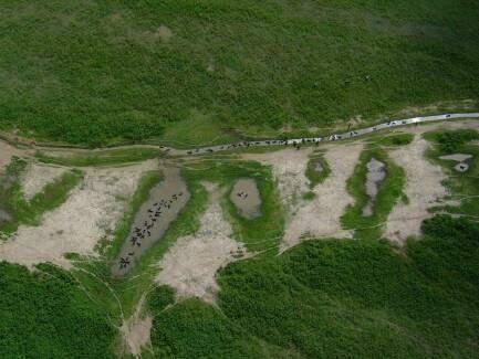 Não há dados sobre população de búfalos no Pantanal (Foto: Walfrido Moraes/Embrapa Pantanal)