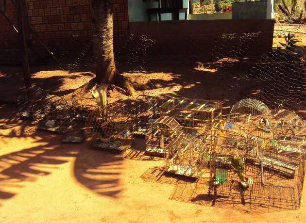 Os pássaros entregues à PMA por criador arrependido. (Foto: Divulgaçã)