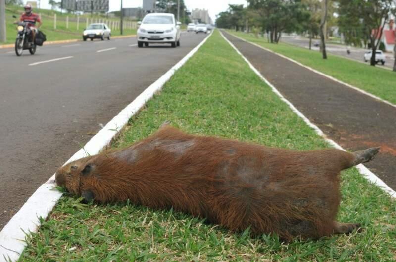 Bicho teria saído do Parque das Nações Indígenas, que concentra outros animais da espécie. (Foto: Alcides Neto)