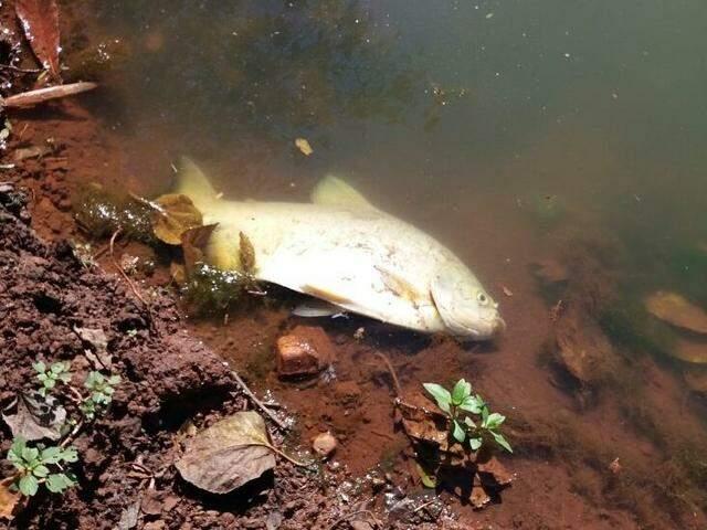 Peixe morto após vazamento de esgoto (Foto: Osvaldo Duarte / Dourados News)