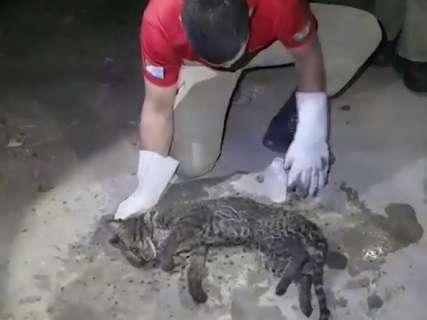 Jaguatirica ferida é resgatada em área de combate ao fogo no Pantanal