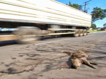 Capivaras são vítimas do desrespeito ao limite de velocidade em avenida
