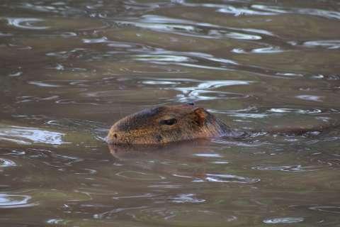 Por um clique das capivaras, visita ao Lago do Amor vira rotina de famílias