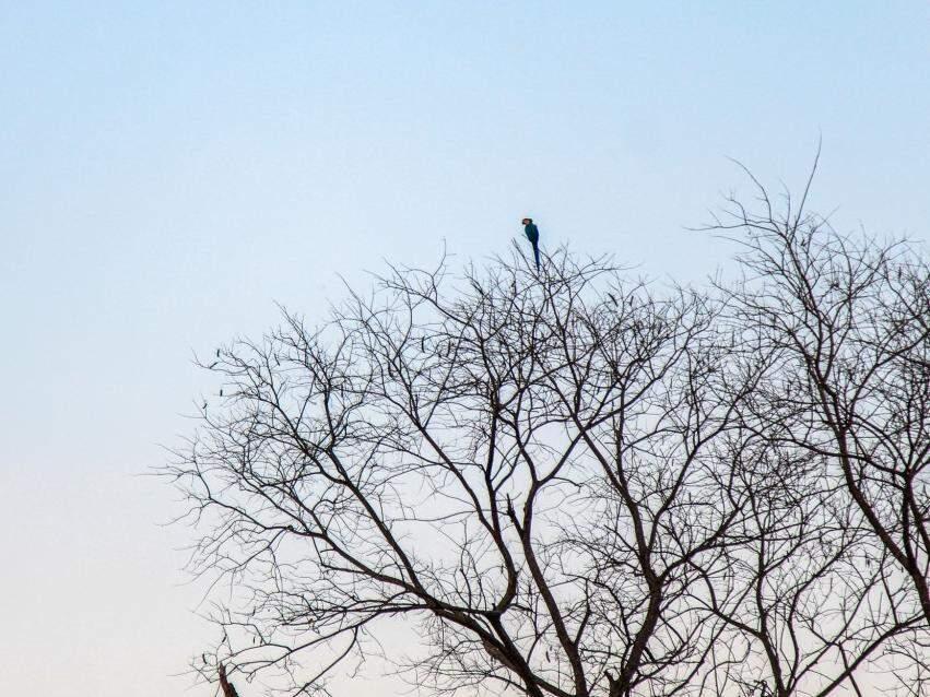 Galhos secos e pássaros compõem cenário com céu  amanhecendo em Campo Grande  (Foto: Marina Pacheco)