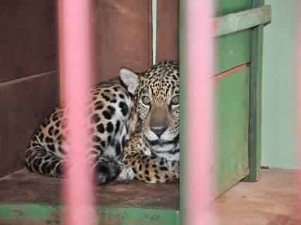 """Onça """"fujona"""" pode ser levada para zoológico em Foz do Iguaçu"""