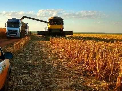 Colheita do milho safrinha começa em MS com previsão de safra recorde