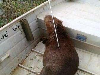 Capivara é morta atingida por um arpão ás margens da Lagoa Maior