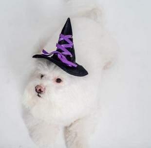 """Gus Bichon Frisé, de 8 anos, vestidinho de """"bruxa""""."""