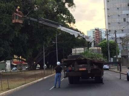 Prefeitura fecha trecho de avenida para cuidar de árvores centenárias