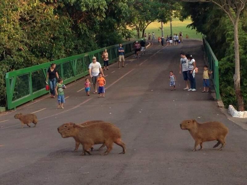 Travessia das capivaras, Parque das Nações Indígenas. (Foto e legenda de Gerson Walber)