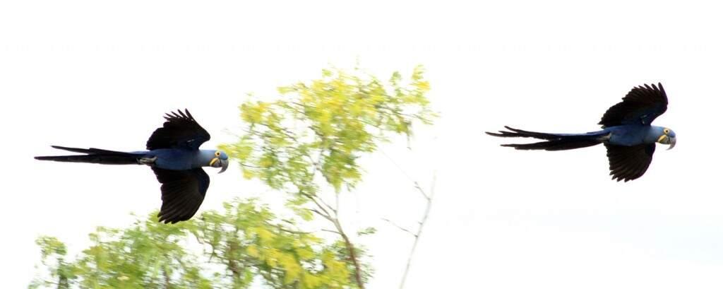 Bandos de araras azuis sobrevoam a pousada em algazarra. Variedades de pássaros também impressiona o visitante