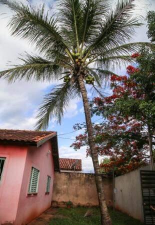 Coqueiro do quintal no bairro Coronel Antonino. (Foto: Danielle Valentim)
