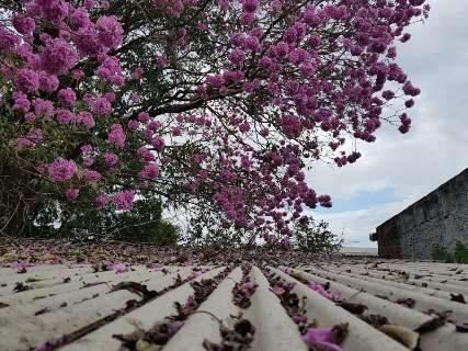 Câmera no jeito: florada de ipês faz alegria dos fotógrafos de plantão