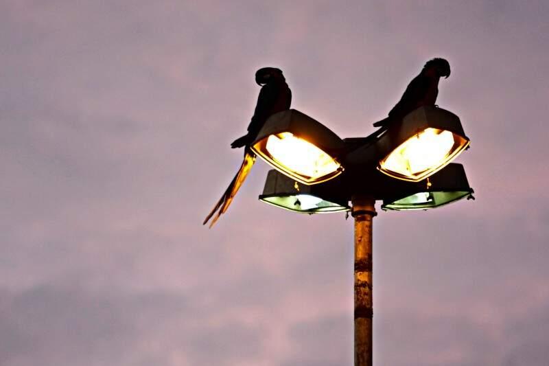 "Pássaros ""estacionados"" sobre poste de luz em Campo Grande. (Foto: Cleber Gellio)"