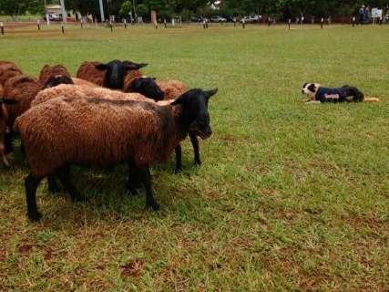Cães treinados ajudam produtor rural no manejo de rebanhos em fazenda
