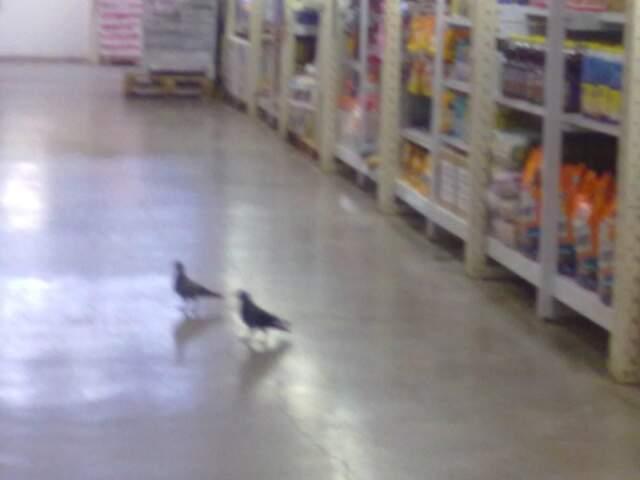 Pombos andam livremente nos corredores do atacadista. (Fotos: Alexsandro Procópio)