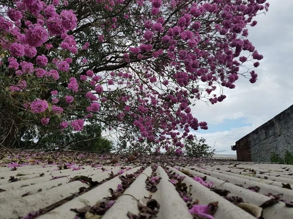 """Uma foto diferente de ipê rosa """"flagrado"""" ao cair em telhado de Campo Grande. (Foto: Gilson Rocha)"""