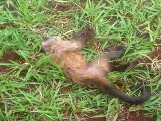 Macaco encontrado morto em uma fazenda de Rio Brilhante (Foto: Maracaju Speed)
