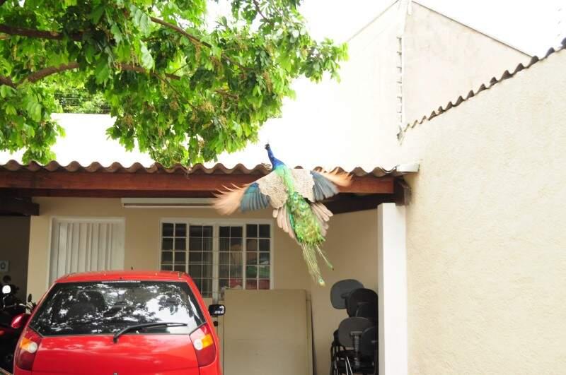 Pavão mostrou todo sua beleza em estacionamento de cartório.