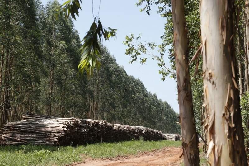 MS tem mais de 921 mil hectares de eucaliptos plantados. (Foto: Arquivo/ Campo Grande News)