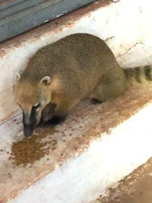 Quati foi visto comendo ração próximo ao prédio da Sejusp. (Direto das Ruas)
