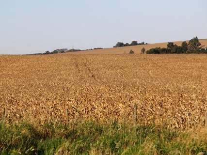 Área destinada ao milho deve crescer 75% em MS na próxima safra