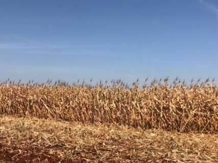 Colheita do milho avança e chega aos 50% em municípios do norte