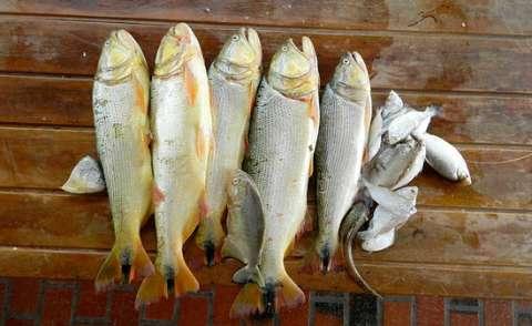 Sem cheias no Pantanal, falta peixe e população importa pescado
