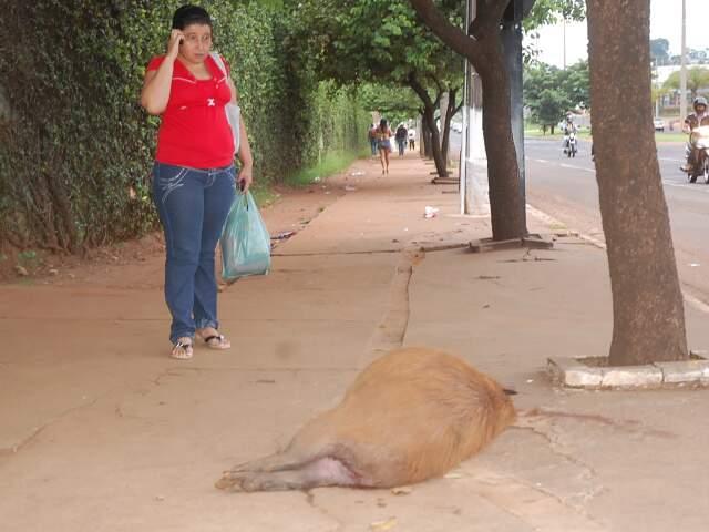 Capivara encontrada morta na frente do Shopping Campo Grande, no dia 10 de janeiro (Foto: Simão Nogueira)