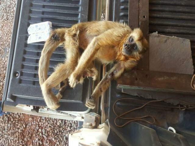 Animal da espécie Bugio, encontrado morto e com ferimentos (Divulgação)