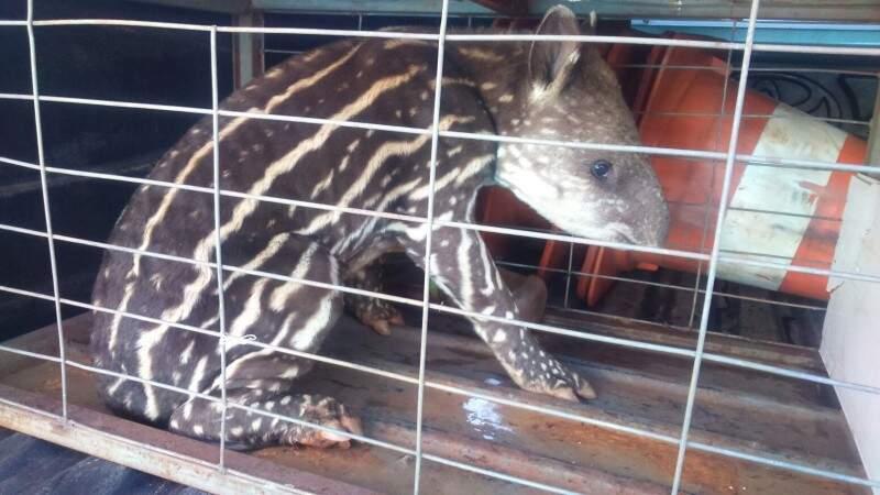 Animal foi resgatado e recebeu atendimento. (Foto: Divulgação PMA)