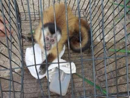 Polícia resgata, mas macaco-prego se agarra aos donos para não ir embora