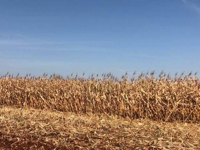 Plantação de milho à espera das colheitadeiras em Mato Grosso do Sul (Foto: Lucimar Couto)