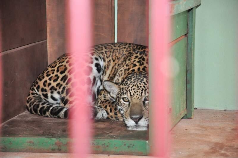 Por conta da segunda fuga da onça pintada no Centro de Reabilitação de Animais Silvestres (Cras), as visitas monitoradas ao local estão suspensas. Foto: João Garrigó