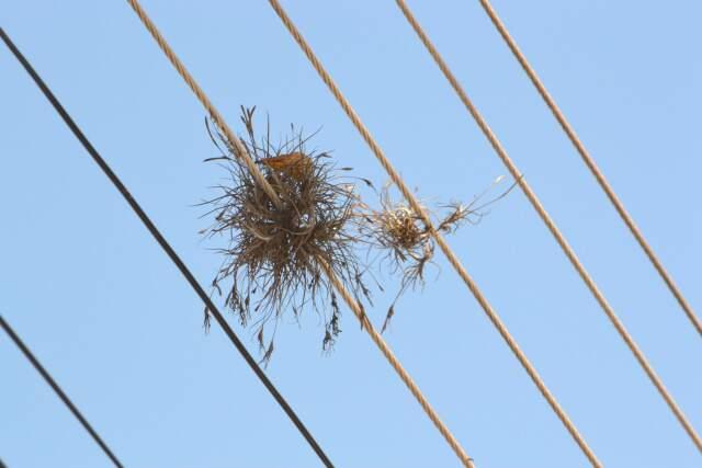De longe parecem ninho de passarinho. Mas nem todo mundo repara.