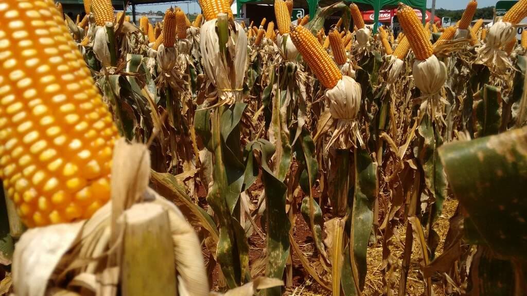 Produção de milho deve ser recorde neste ano (Foto: Arquivo)