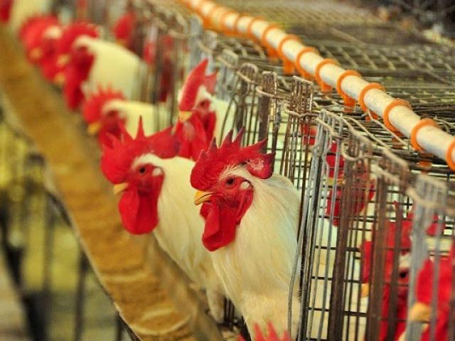 Produção de carne de ave também apresentou crescimento (Foto: Divulgação)