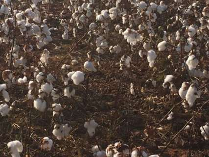 Frio deve atrasar início da colheita do algodão na região norte de MS