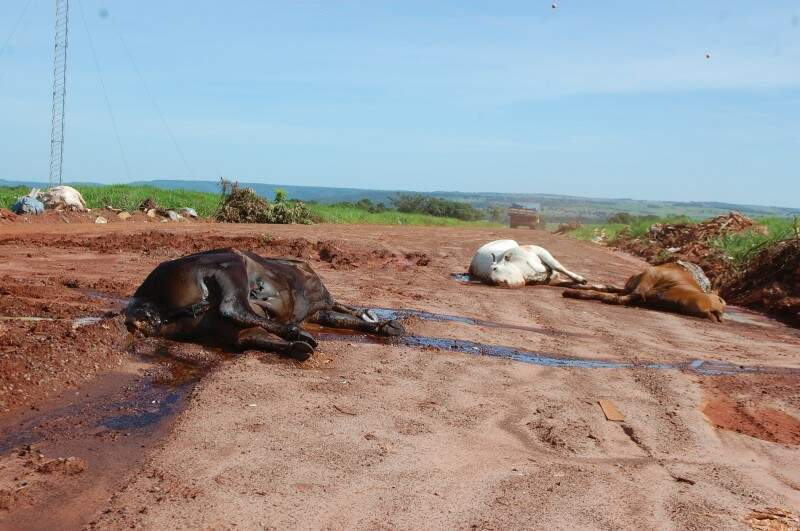 As vacas mortas foram jogadas na estrada que dá acesso a cachoeira do Inferninho. (Foto: Pedro Peralta)