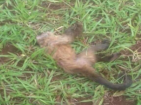 Macaco encontrado morto em fazenda no interior de MS (Foto: Maracaju Speed)