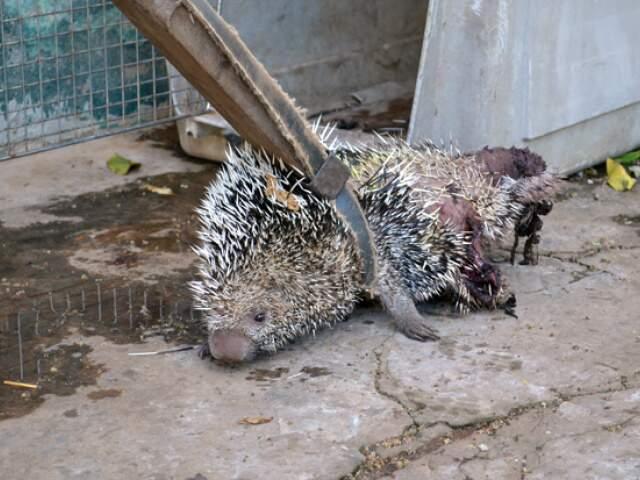 Porco-espinho foi encontrado embaixo de uma árvore. Ele foi resgatado com ferimentos nas patas e cauda (Foto: Maikon Leal/Coxim Agora)
