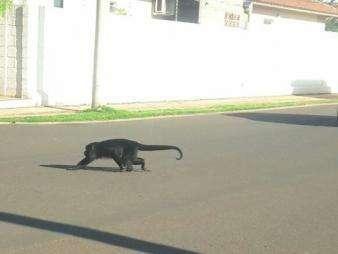 Macaco bugio passeia livremente em residencial no bairro Parati