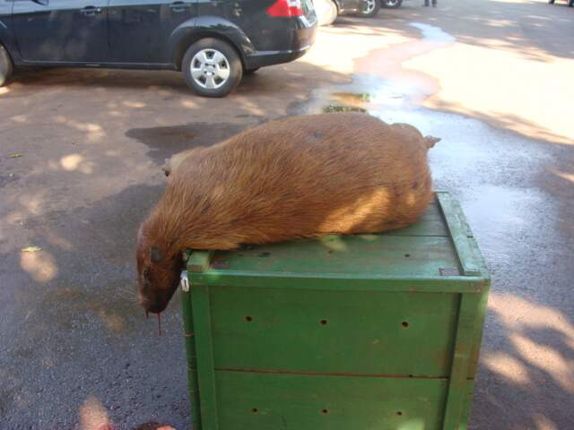 Atropelamentos de animais silvestres têm sido frequentes na área urbana da Capital, segundo PMA. (Foto: Divulgação/PMA)