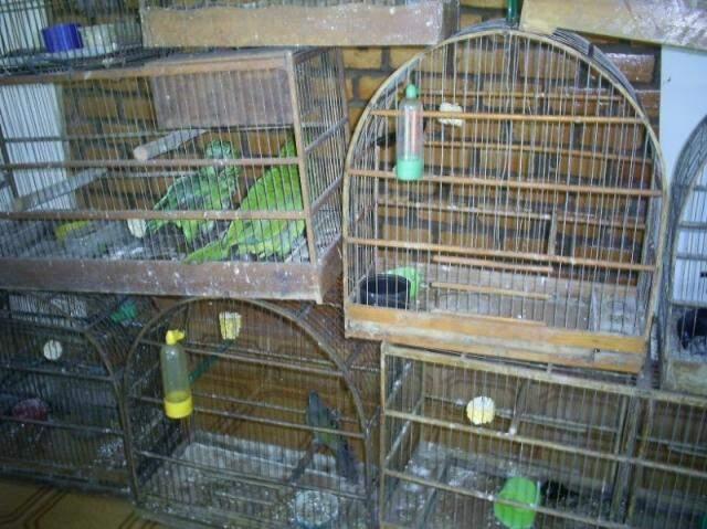 Foco é tráfico de papagaios